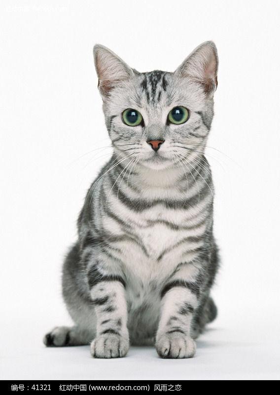 美国短毛猫虎纹118