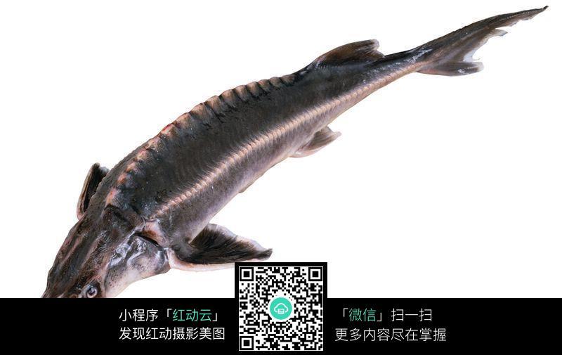 中华鲟鱼化石价格_中华鲟【图片 价格 包邮 视频】_淘宝助理
