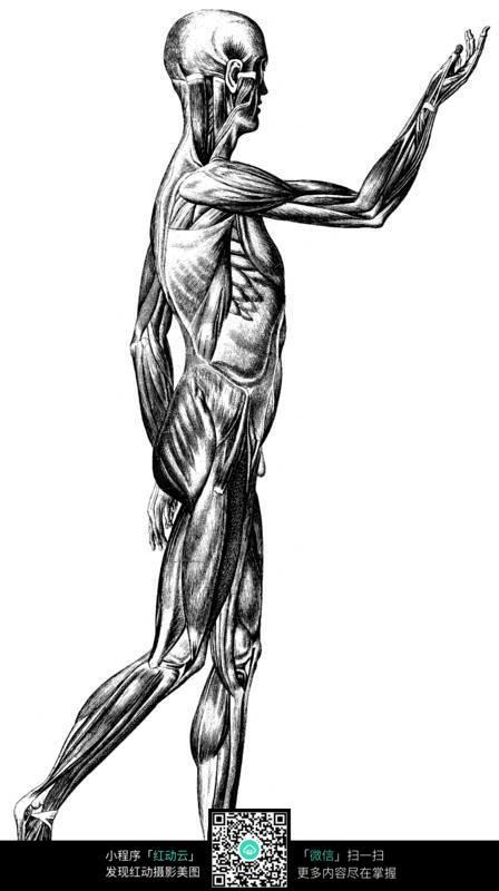 人体侧面肌肉分布图片图片-人图片
