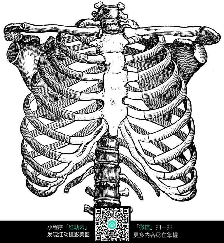 胸腔骨架结构图片(编号:122145)_人体器官_人