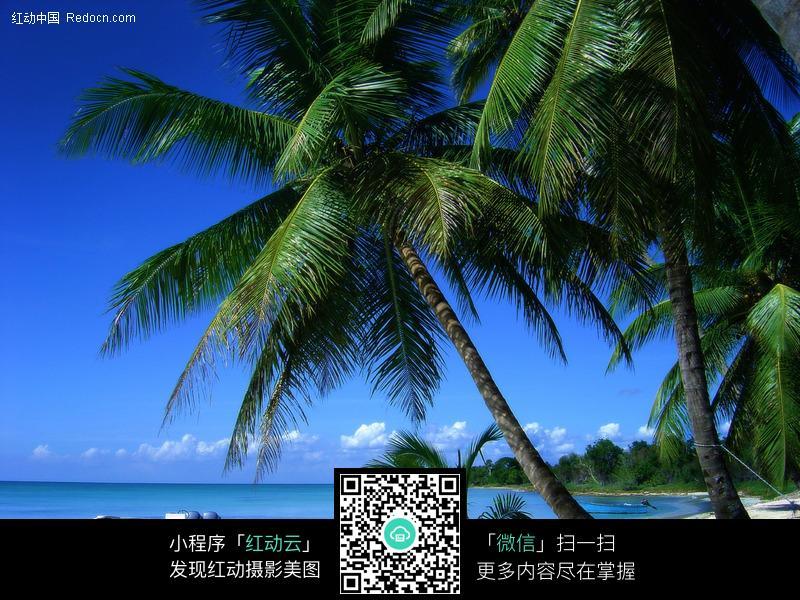 海边椰子树手抄报图片,海边椰子树图片,海边椰子树简笔画,
