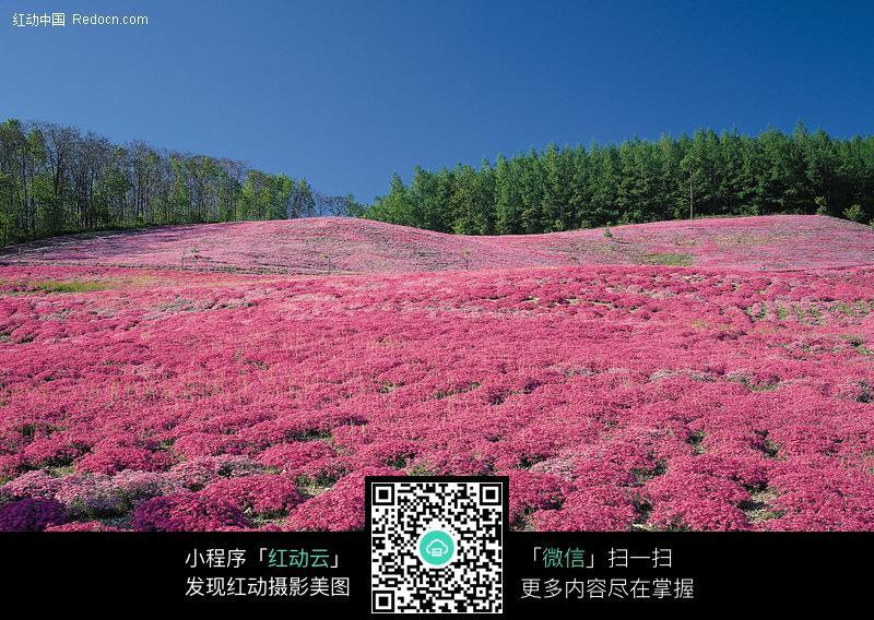 田園風景 遍地紅花圖片(編號:142866)_自然風景