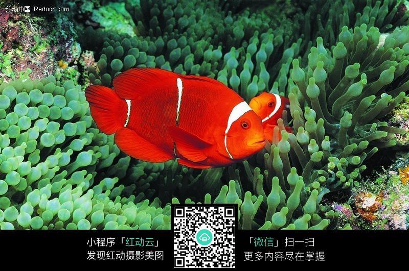 美丽的小丑鱼和 海葵 图片 生物图片下