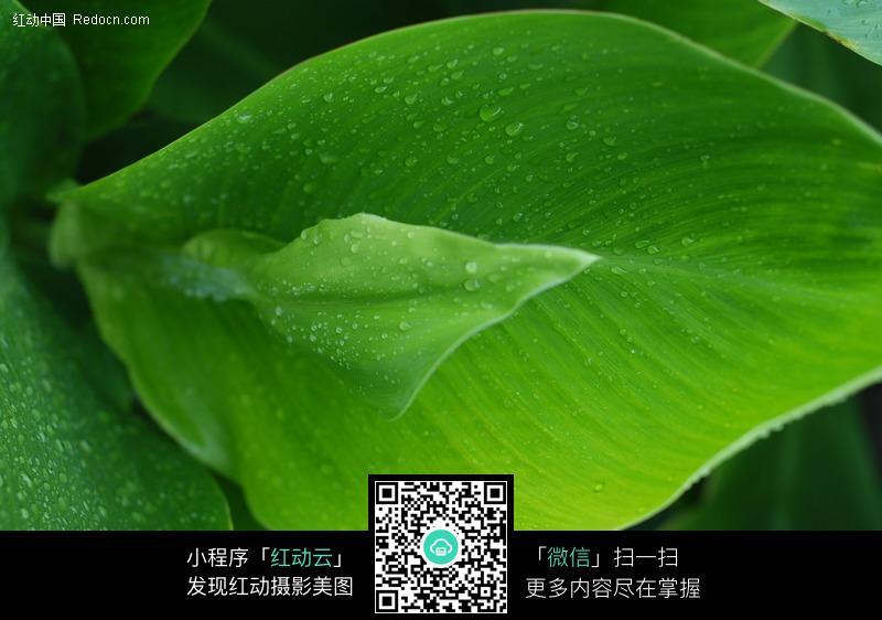 关键词:美人蕉叶子微距绿叶植物图片