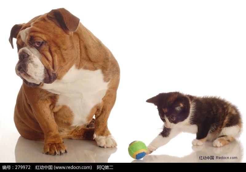 骨嘴沙皮出售_一起玩耍的沙皮狗和小花猫图片 - TR图片·如斯 - 发现事物新价值