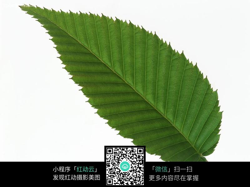 锯齿状叶子图片-动物 植物 生物图片下载图片图片