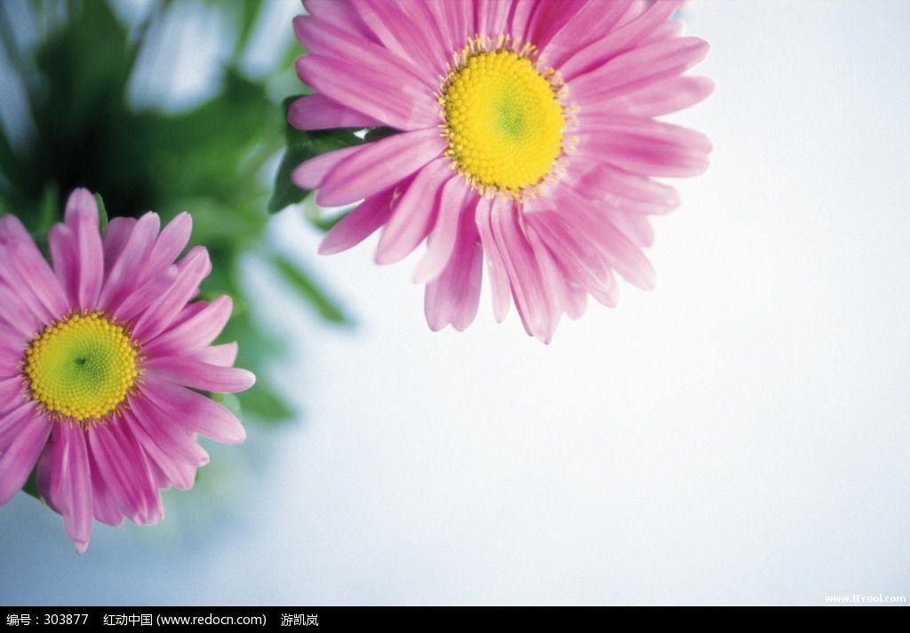 桌面 壁纸 花卉 雏菊 清新 雏菊 桌面 高清 风景 壁纸