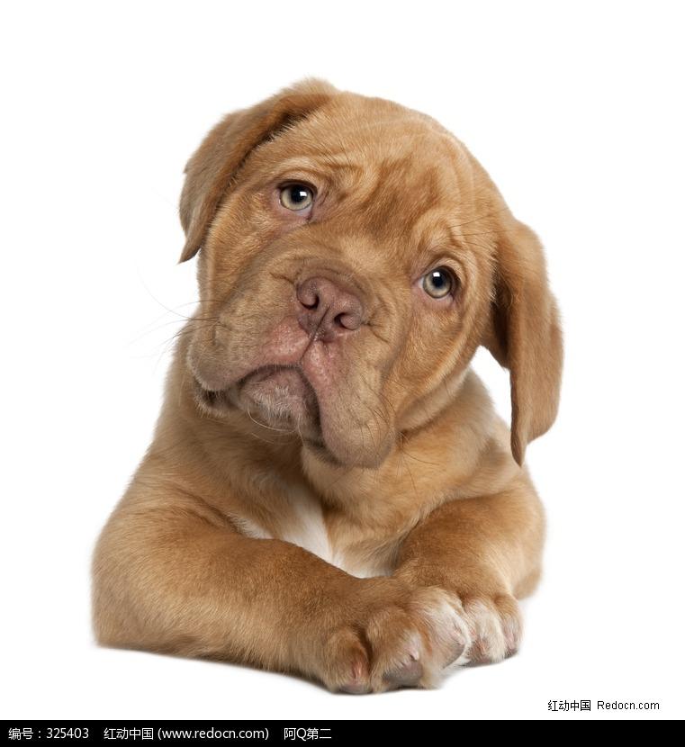歪着头的可爱宠物狗图片(编号:325403)