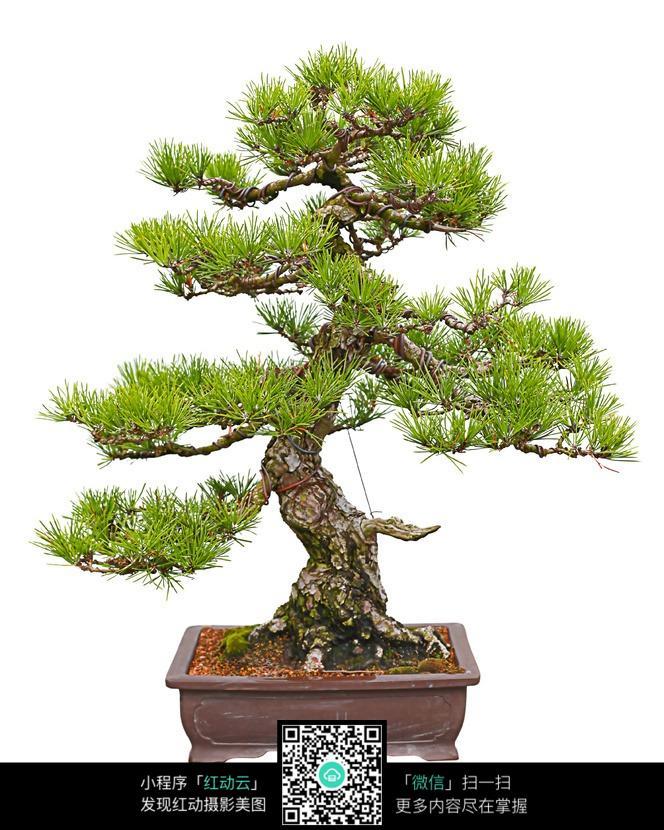 松树盆景图片 编号 327870 花草树木 生物世界 图片素材 -松树盆景
