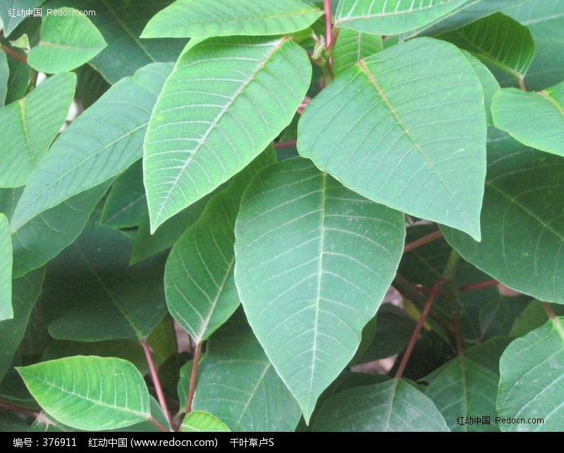 水雾树叶嫩绿枇杷叶大叶心形叶红枝条树茎花草植物图片