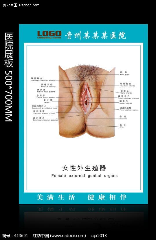 女性外生殖器 医院展板模板下载编号:413691