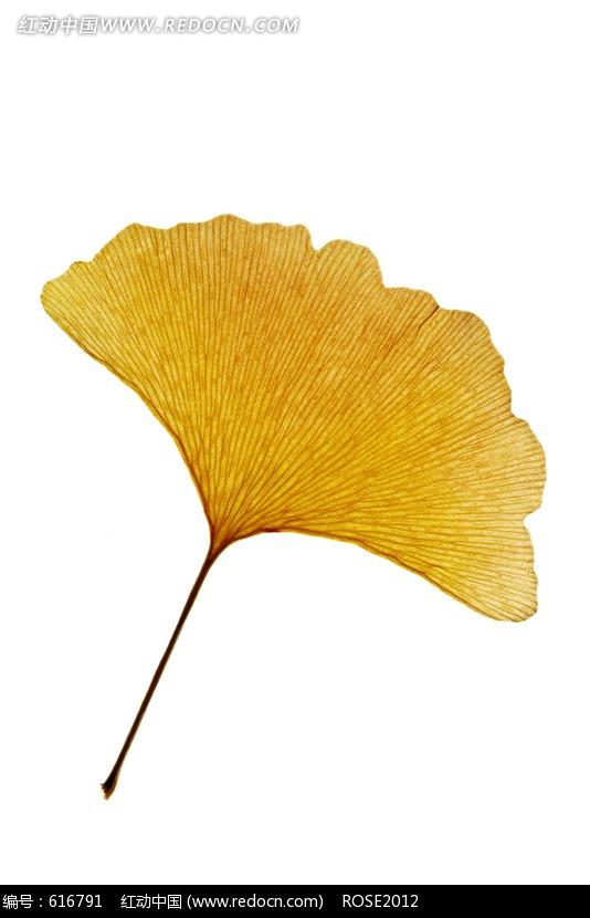 银杏树叶-一片黄色银杏叶图片 616791 自然风景