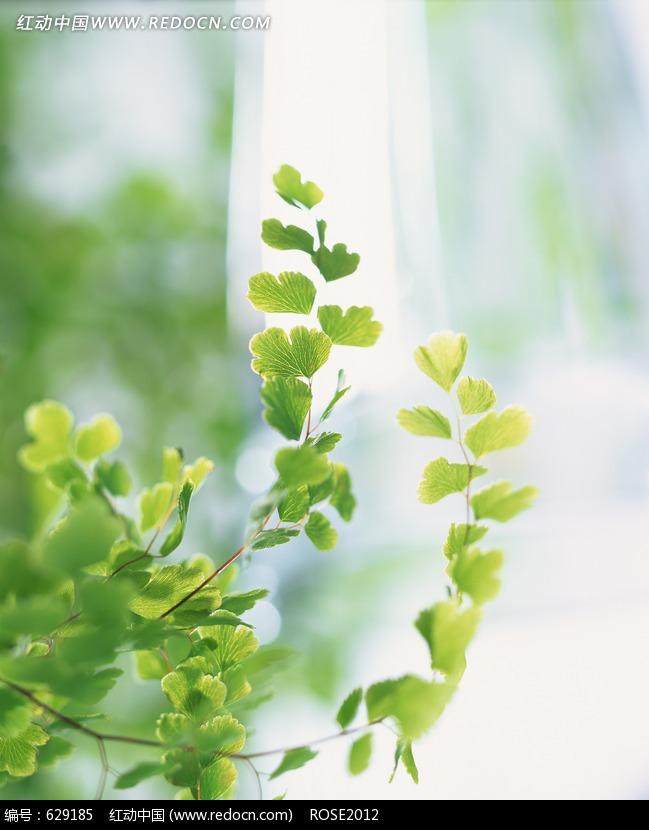 瀑布树旁的白果树叶设计图片