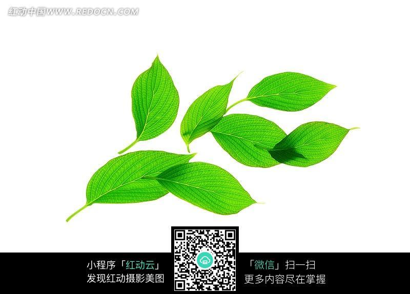 绿叶图片 绿叶图片素材 绿叶图片背景 一片绿叶图片 闪动绿叶图片图片