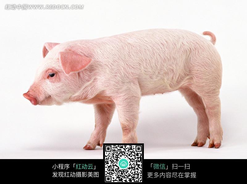 白色背景上的一只小猪图片(编号:745029)_陆地