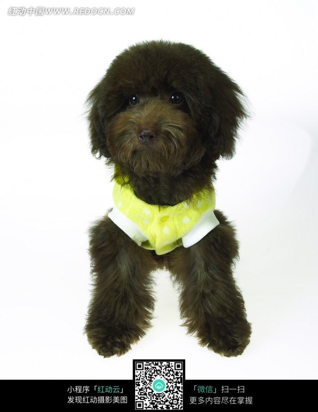 穿绿色衣服的眼睛明亮的小黑狗的正面照片 [图片.]