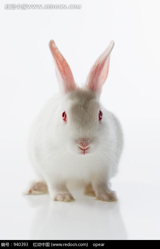 小白兔 高清图片