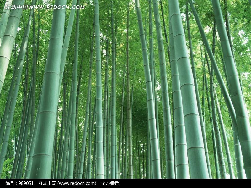 铁骨虚心 的竹子图片(编号:989051)_花草树木
