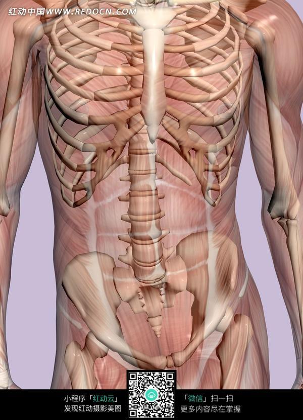 人的骨骼结构图 人的脚骨骨骼结构图 人背部部骨骼结构图 -人脚骨骼