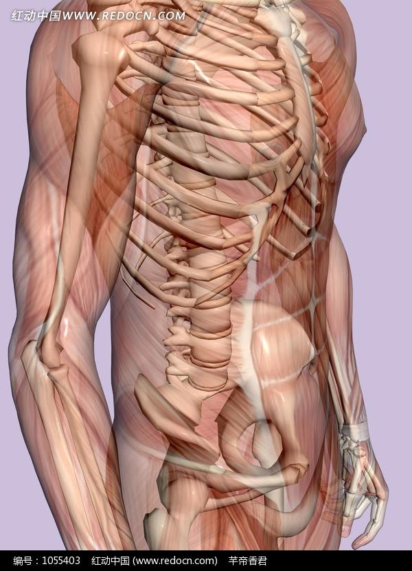 男性半侧面人体骨骼结构图图片(编号:1055403)-人体骨骼结构图
