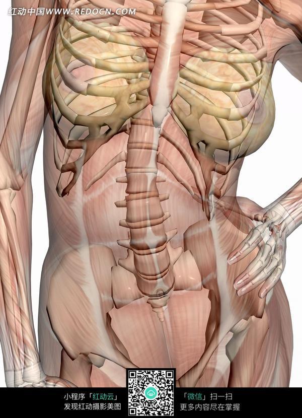 骨骼结构图图片 骨骼结构示意图, 骨骼结构高清图-手部骨骼结构图