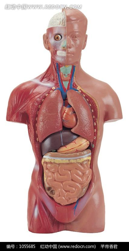 男人的身体器官图片 男人身体器官结构图 男人身体生理器官-男人的生