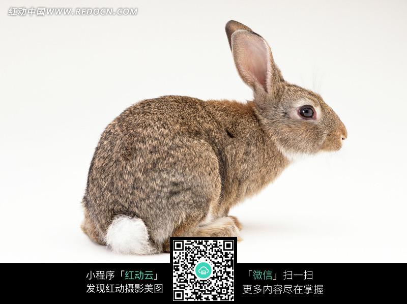 小兔侧面图片_一只可爱的小兔子侧面图片图片动物植物生物