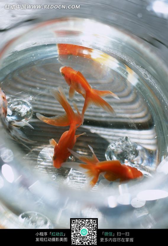 玻璃鱼缸中游弋的金鱼设计图片