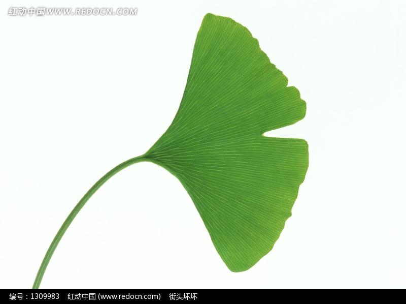 一片绿色的 银杏树叶 图片 生活用品 日常生活图