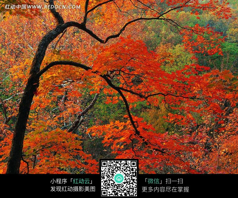绯红的枫树特写图片
