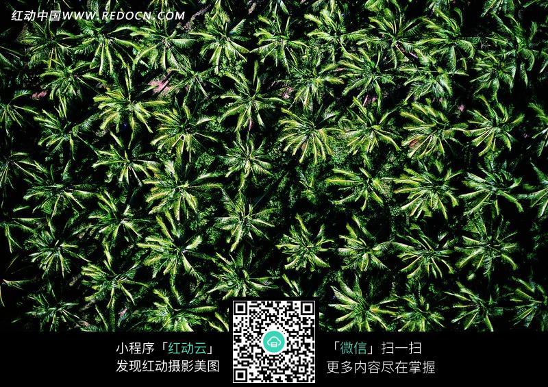 香蕉树 越南现超级香蕉树,图片新闻 - 嘀呀嘀搜索