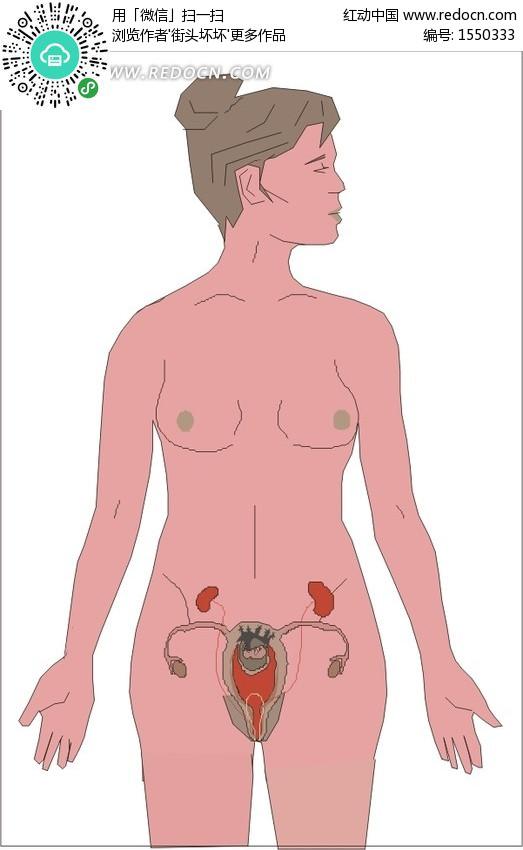 手绘女性内部的生殖器官 人体器官矢量图下载编号: