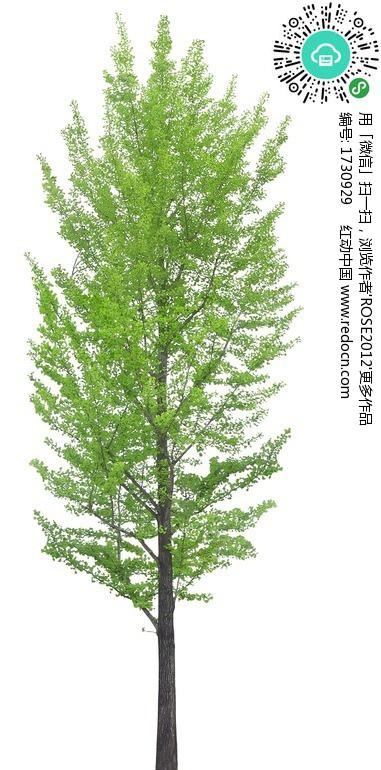 一棵银杏树PSD分层素材 编号 1730929 植物 PSD分层素材 PSD素材