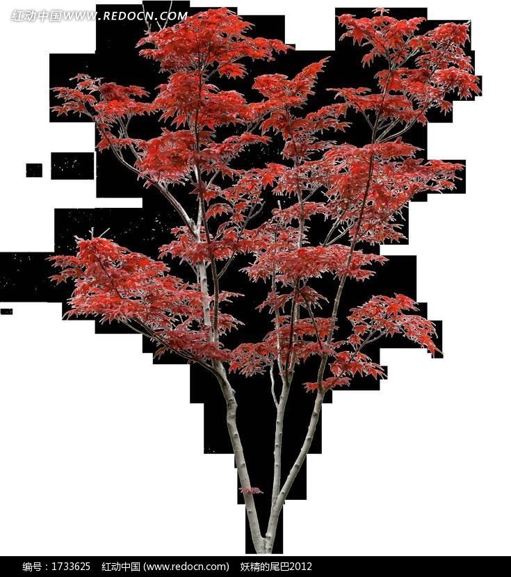 枫树png格式