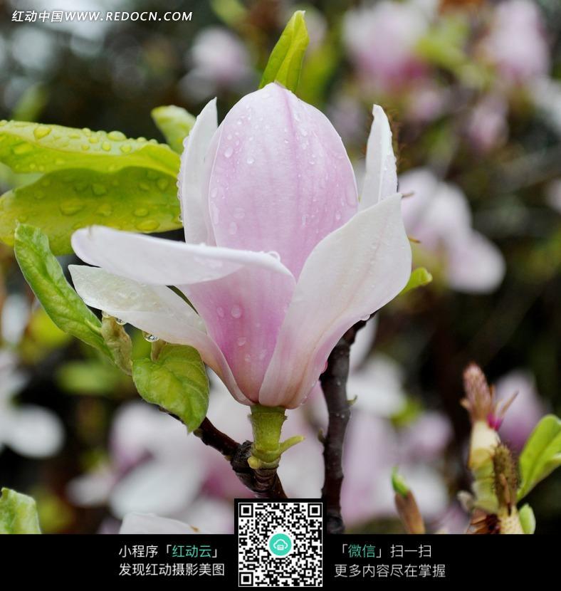 带着晨露的粉色玉兰花图片