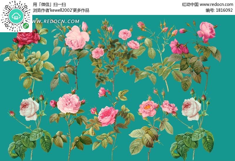 月季花跟玫瑰花区别_